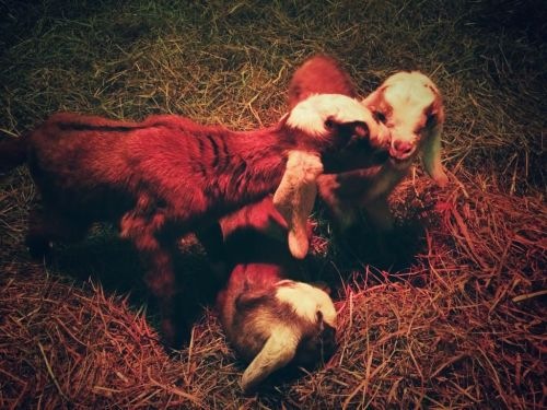 Photo of baby goats